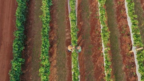 Colheita na Vinícola Terras Altas, julho de 2021   Imagem: Rafael Cautella
